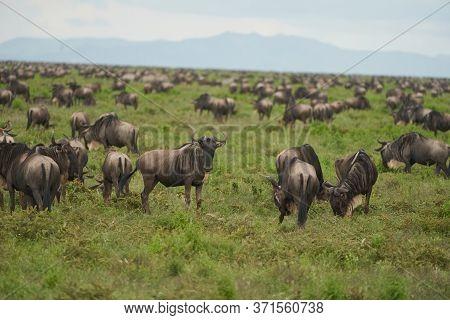 Great Migration Serengeti Gnu Wildebeest Zebra Connochaetes Taurinus
