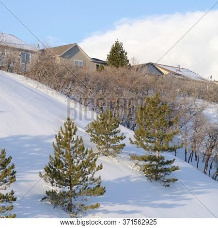 Square Young Pine Trees And Houses On Snow Blanketed Slope Of Wasatch Mountains