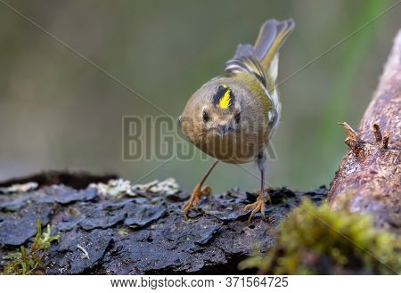 Cute Goldcrest (regulus Regulus) Posing With Bright Crown On Lichen Branch Near A Waterpond In Fores