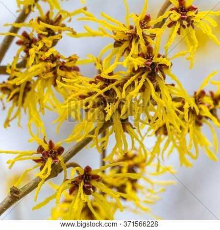 Clsoeup Of Wild Witch Hazel Blooming. Colorful Yellow Flowers On White Background