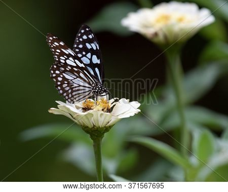 A Beautiful Blue Tiger Butterfly (tirumala Limniace), Feeding On A White Zinnia Flower In The Garden