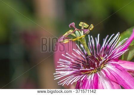 Closeup Of A Beatitful Purple Passiflora Flower
