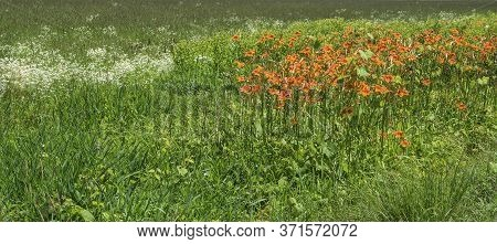 Field Of Day Lilies And Wildflowers In Upstate New York