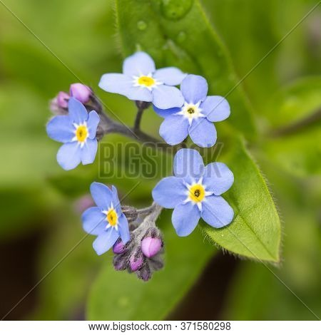 Beautiful Fresh Forget Me Not Flowers Outdoor