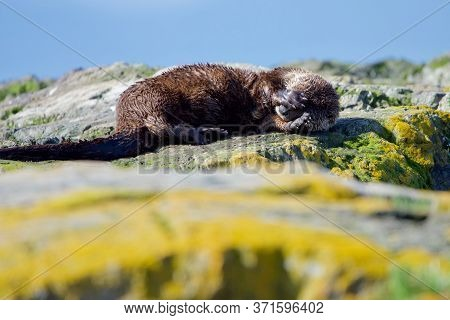 River Otter Lying On Algae Covered Rocks Hides Its Head In Its Paws, Clover Point, Vancouver Island,