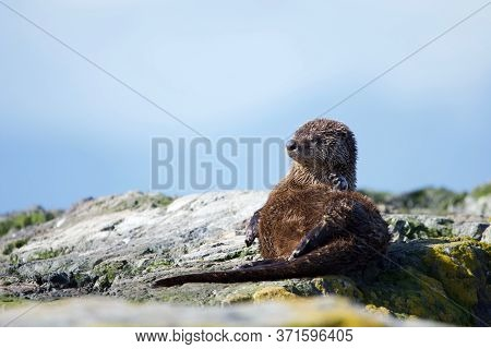 River Otter Lies On Its Side On Warm Seashore As It Grooms Itself, Clover Point, Vancouver Island, B