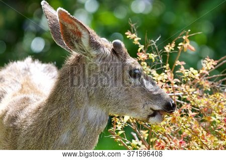 Young Black-tailed Deer Buck, Its Antler Buds Covered In Velvet, Nibbles On A Shrub In Someone's Fro