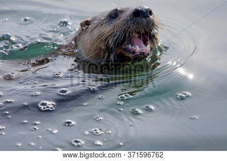 River Otter Swims On The Surface With Its Mouth Open While It Chews On A Fish, Juan De Fuca Strait,