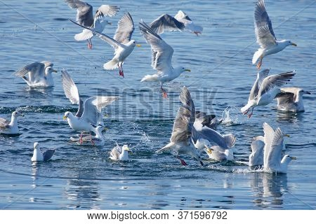 Flock Of Seagulls Dive Into Ocean To Catch Sand Lance That Are Schooling Near Surface