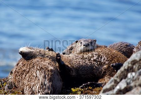 One River Otter Shows Its Belly While Several Others Cuddle Up In A Family Gathering On Rocks At Low
