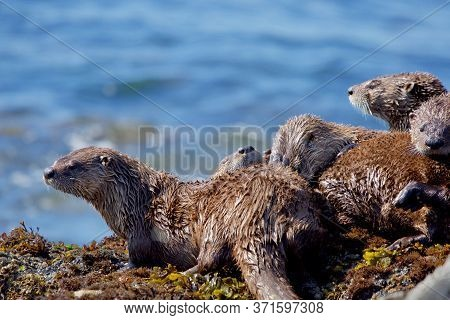 Five Otter Siblings In Family Group Groom Each Other On Seaweed Covered Rocks At Low Tide, Clover Po