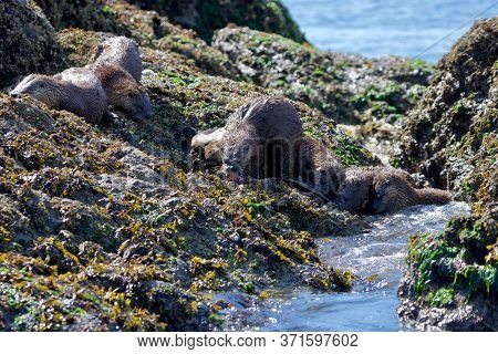 Five River Otters Feed On A Wolf Eel On Seaweed Covered Rocks At Low Tide, Clover Point, Vancouver I