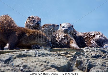 One Otter Shakes While Three Others Cuddle Up On Rocks At Clover Point, Vancouver Island, British Co