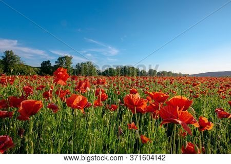 Red Poppy Field Landscape. Beautiful Landscape At Sunset Beneath A Blue Sky In Spring. Wonderful Out