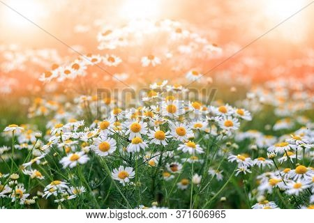 Many Flowers Of Chamomiles On A Sunny Meadow With   Are Macro. Summer Spring Light Gentle Floral Bac