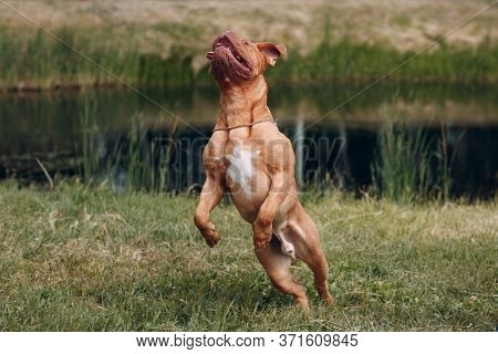 Jumping Dogue De Bordeaux. Dog Mastiff Pet.