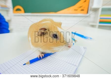Back To School. Zoology. September 1. Cute Guinea Pig. Learning, Education, School Concept. Guinea P