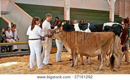 Mt Vernon, Wa - August 13 - Teens Show Cows At Ffa County Fair Show