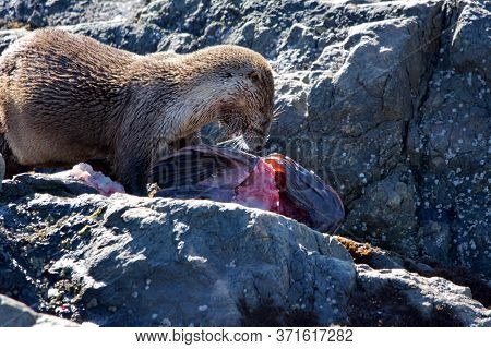 Otter Eating A Large Lingcod On The Rocks At Clover Point, Vancouver Island, British Columbia
