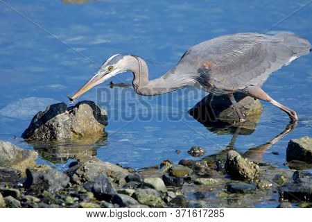 Great Blue Heron Spears A Small Fish In The Shallows Near Shore On A Spring Morning, Clover Point, V