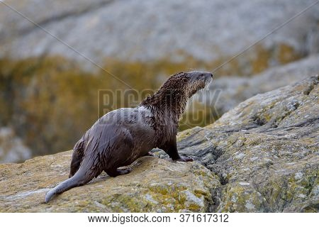 River Otter Looks Up From Lichen Covered Rocks On Shore, Clover Point, Vancouver Island, British Col