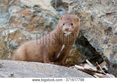 American Mink Takes A Look Around As It Hunts Along The Rocky Shore At Clover Point, Vancouver Islan