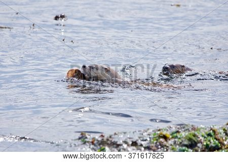 Female River Otter Swims With A Sole In Her Mouth As Her Yearling Pup Tries To Catch Her, Clover Poi