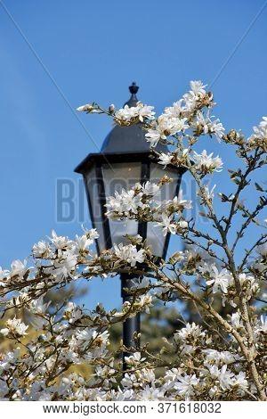 White Magnolia Blossoms And Black Antique Style Street Lamp In Beacon Hill Park, Victoria, British C