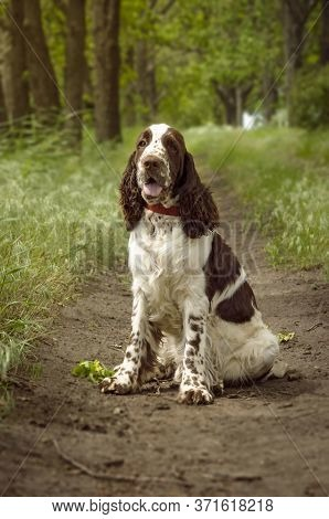 A Beautiful English Springer Spaniel Dog Breed Sits On A Track In A Park On A Hot Summer Day. Huntin