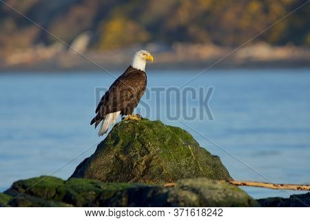 Bald Eagle Perches On Green Seaweed Covered Rock In Early Morning, Clover Point, Vancouver Island, B