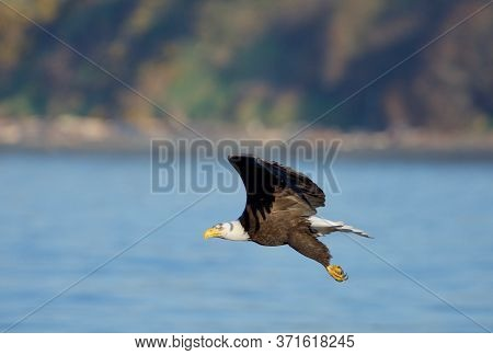 Bald Eagle Flies Along The Shoreline In Early Morning Near Clover Point, Vancouver Island, British C