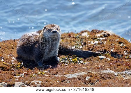 Large River Otter Lounges On A Seaweed Covered Rock At Clover Point, Vancouver Island, British Colum
