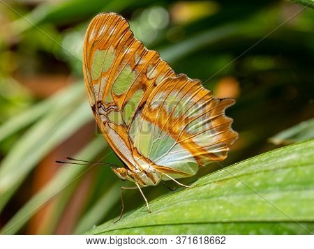 Malachite Butterfly (siproeta Stelenes) Isolated On A Leaf With Blurred Background
