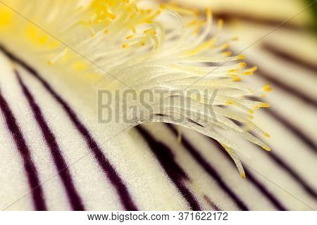 Stamens Of The Iris Flower, From The Iridaceae Family, Macro, Supermacro, Similar To Alien Life Form