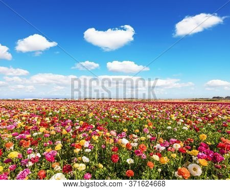 Picturesque fields in the Israeli kibbutz. Blooming multi-colored large buttercups - ranunculus. Wonderful warm spring weather. The concept of botanical, environmental and photo tourism