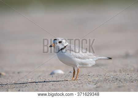 Piping Plover Is A Near Threatened Sand-colored, Sparrow-sized Coastal Shorebird. Photographed At He