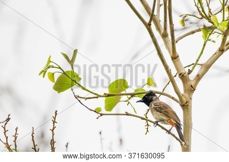 Red-vented Bulbul (pycnonotus Cafer) Perching On A Twig With Leaves