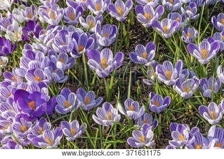 Blue Purple Crocus Blossom Blooming Macro Bellevue Washington State.  First Flower Of Spring