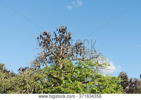 Colony Of Flying Fox Causing Damage To Trees In Lissner Park, Charters Towers, Australia