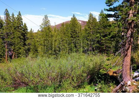 Pine Trees Surrounding A Lush Alpine Meadow Taken At A Temperate Forest In The Rural Sierra Nevada M