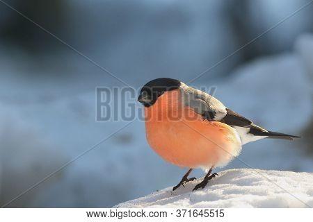The Bullfinch, Common Bullfinch Or Eurasian Bullfinch ( Pyrrhula Pyrrhula) Sitting On The Snow In Th