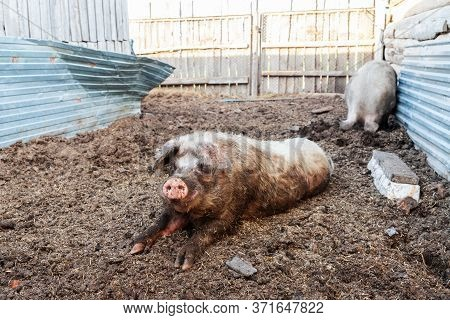Boar And Sow In The Pen. The Hog Is Lying On The Ground, And The Pig Is Digging The Ground With Its