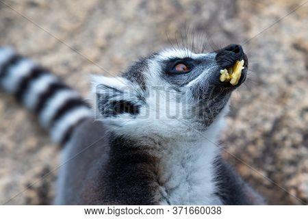 The Ring-tailed Lemur On A Large Stone Rock Eats A Banana
