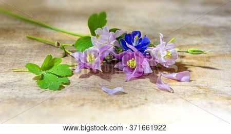Beautiful Flowers Pink, White, Blue Aquilegia Lie In Drops Of Water On A Wooden Board. Aquilégia Vul