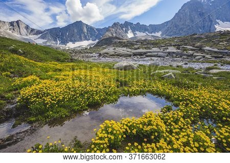 Yellow Buttercups Flowers In A Mountains. Altai, Russia