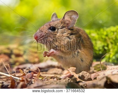Field Mouse (apodemus Sylvaticus) On The Forest Floor With Front Legs Together Like Praying In Natur