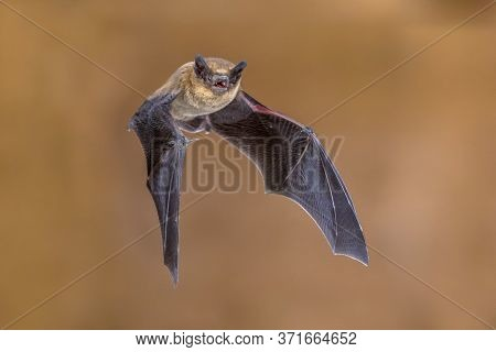Flying Pipistrelle Bat (pipistrellus Pipistrellus) Action Shot Seen From Side On Wooden Attic Of Hou