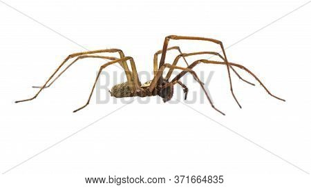 Giant House Spider (eratigena Atrica) Side View Of Arachnid With Long Hairy Legs Isolated On White B
