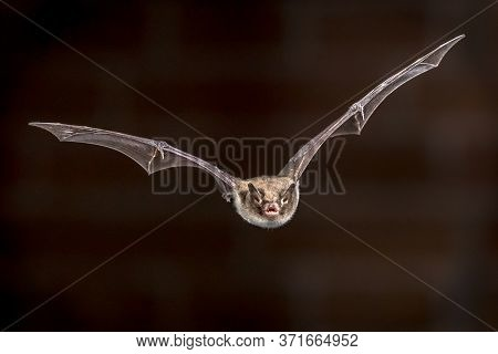 Rare Pond Bat (myotis Dasycneme) Echolocating While Flying In Front Of Brick Wall On Attic Of Church