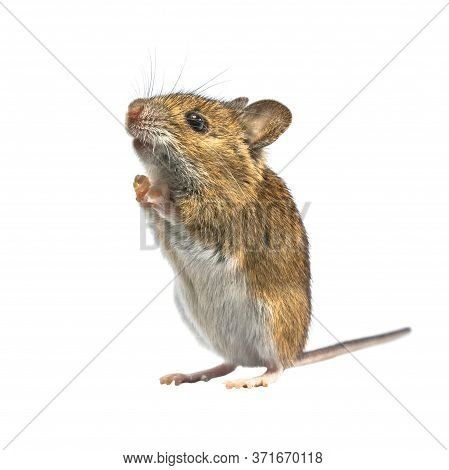 Ramping Wood Mouse (apodemus Sylvaticus) Isolated On White Background. This Cute Looking Mouse Is Fo